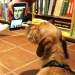 A dog looking on a mobile phone screen.